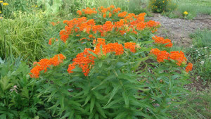 Drought-tolerant plants like Butterfly Weed can save you a lot of money since they don't need much water.